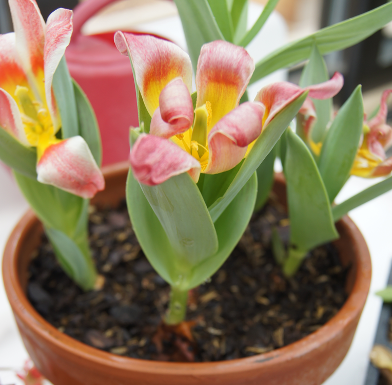 forcing-tulips-in-a-pot
