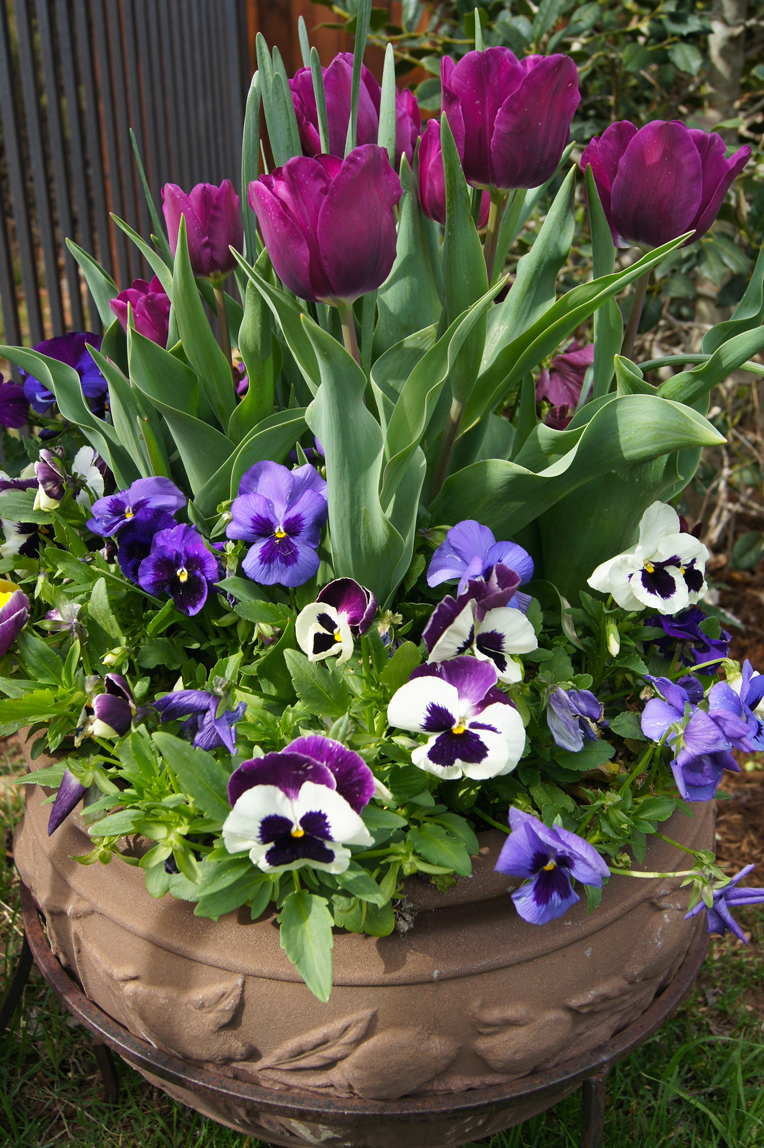 pansies-and-tulips