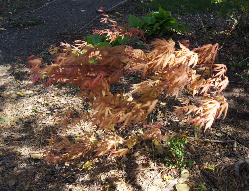 A Japanese Maple Garden Garden Soiree
