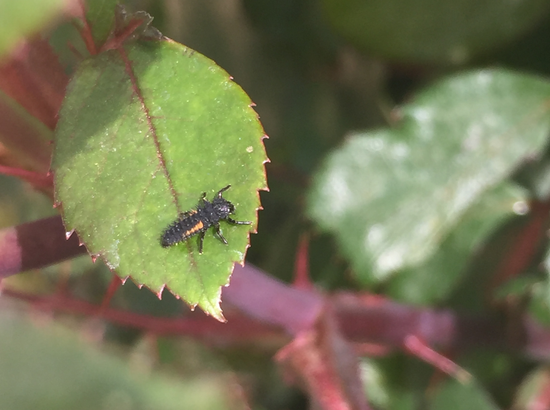 Ladybug-stages