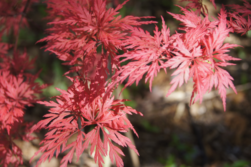 A Japanese Maple Garden Garden Soiree
