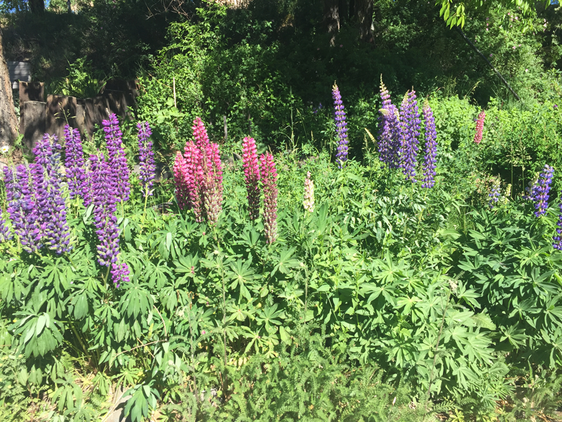Lupines-in-Colorado