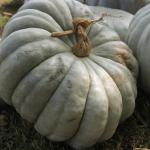 jarrahdale-pumpkin